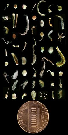 A mere handful of seafloor mud may contain as many species as are found in a square meter of tropical rainforest. The fantastic assemblage seen above was gathered from a single scoop of mud, about 2 inches deep and 5 inches across.