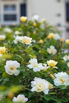 The best {Summer-Blooming} shrubs!