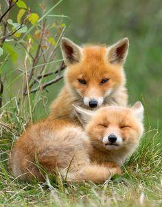Red fox pups - Pixdaus
