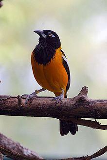 The Venezuelan Troupial is the national bird of Venezuela.