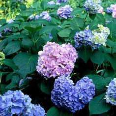Hydrangea - good in wet soil