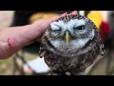 Super cute baby owl video 720p  + download link