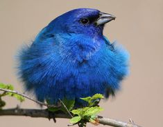 Bluetiful!                                                     National Wildlife Magazine Photo Contest 2009  Honorable Mention, Amateur Division, Birds Category    This Indigo Bunting was fluffing up his feathers to defend his territory. A tailwind helped to complete the effect.