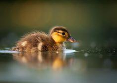 mandarin duckling