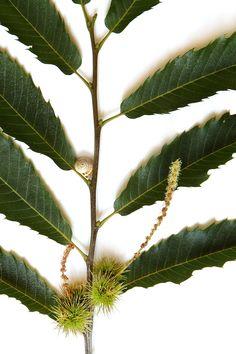 châtaigne/chestnut (mary jo hoffman)