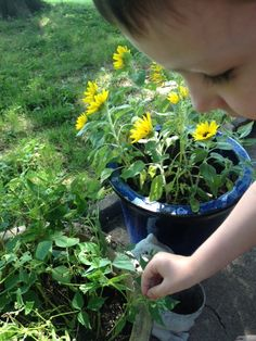 Tyler's garden of AAS Winners Bean Mascotte and Sunflower Suntastic Yellow with Black Center.