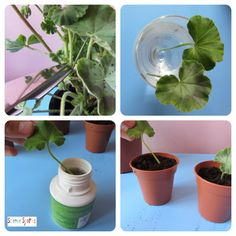 Plant Babies - making tissue cuttings!