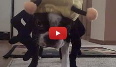 This Boston Terrier HATES his New Costume that was bought by his owner for Halloween! Watch! ► http://www.bterrier.com/?p=26295