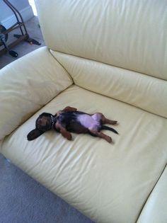 Slumped doxie