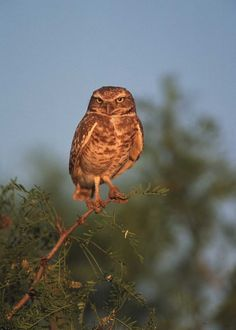 Burrowing owl in eastern New Mexico.