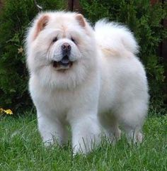 Love these cream colored Chow Chows.