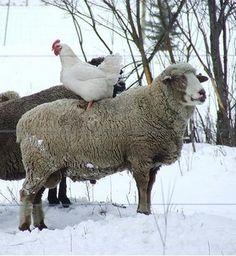 animals, friends, farms, snow, sheep, chicken fingers, homes, anim picci, farm anim