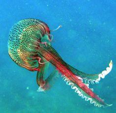 sea life, beauti jellyfish