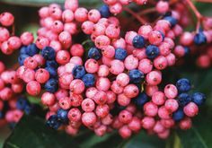 Viburnum, Brandywine. Loads of breathtaking berries that transform from green to shades of vivid pink and blue. A great companion pollinator for Winterthur although Brandywine has good berry production even without another pollinator nearby. Showy glossy leaves change to incredible dark maroon-red in autumn, 5'-6'
