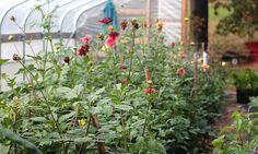 Urban Flower Farm Love in Philly garden visit, gardenista urban, farms, dahlias, cut garden, urban flower, fresh flowers, philadelphia, flower farm