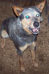 Grady - URGENT is an adoptable Australian Cattle Dog (Blue Heeler) Dog in Durbin, WV. EUTH ALERT: MUST HAVE RESCUE COMMITMENT BY 6/29.  Grady is 2 years old very sweet good with other dogs and children.  Adopt.  Rescue.  Spay.  Neuter. Donate!