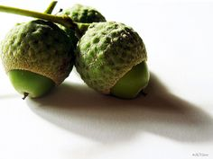 Acorns  Google Image Result for http://media.treehugger.com/assets/images/2011/10/acorns.jpg