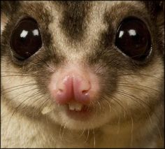 Sugar Glider's teeth Lol ♥