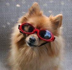 Cute  doggie with sunglasses !