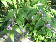 Tricyrtis hirta (Toad lily)