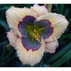 Hemerocallis-Blue-Desire-Daylily - So beautiful I can't believe it's real!! plant, daylilies, blue desir, wedding flowers, day lilies, exotic flowers, mother nature, garden, blues