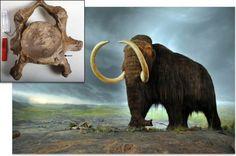 Did inbreeding doom the Mammoth? AAAS Science Now
