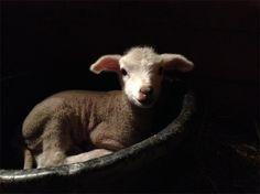 Hughes, a lovely spring lamb at Juniper Moon Farm.