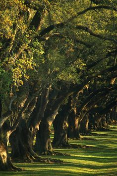 An Avenue Of Oak Trees, New Orleans
