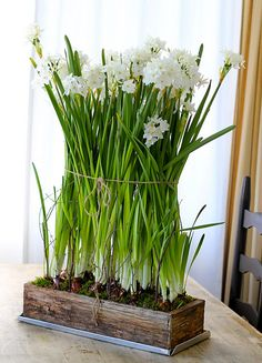 Growing Paperwhites inside in a planting box.