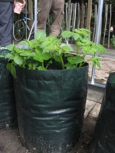Grow Bags For Potatoes: Tips For Growing Potatoes In Bags