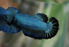 Not all female betta are dull. Check out this Half-Moon Black Green Lace ( full mask ) female.