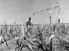 Bob Edwards surveys the damage to his crops three miles south of North Bend, Nebraska, after a mid-August hail storm in 1973. Prior to the storm, him corn stood 8 feet high. THE WORLD-HERALD