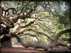 The Angel Tree in Charleston, South Carolina