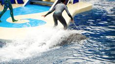 'surfing' on a bottlenose dolphin…natural behavior? #dolphins #SeaWorld #oceanicconservation #whales #captive #voiceless