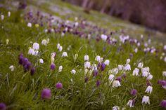 Fritillary meadow