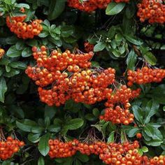 plant now for great autumn color | thisoldhouse.com | from Fall-Fruiting Shrubs