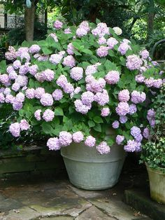 Love the idea of hydrangeas in a container. You could more easily change the pH of the soil in order to change the color of the flowers.
