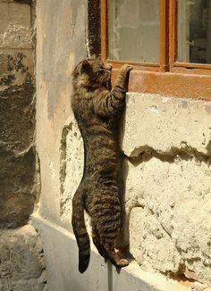 Peeping Tom (cat)