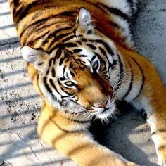 Act Now - Wild Tigers Are Facing Extinction!  Loopholes in current regulations are fueling the illegal tiger trade and contributing to tiger extinction. Take action!