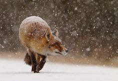 Can you imagine...being a young fox, thinking you have seen it all....  Well...this young fox in the snow experienced it for the very first time in her foxlife :D  All of a sudden these white 'things' begin to fall from the sky...  And she seems to enjoy the snow a lot;)    Let it snow, let it snow, let it snow.... But not until I've got a new cam!