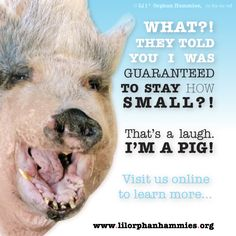 Anyone can open a certificate template and print a guarantee.    Adult miniature pigs achieve a healthy adult weight range of 90 to 250 pounds. This IS miniature. Their farm-bred cousins routinely exceed 1000 pounds if allowed to reach full maturity.