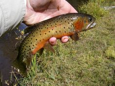 Greenback Cutthroat Trout: coldwater fish belonging to the trout, salmon and whitefish family; have dark, round spots on sides and tail and 2 colorful blood-red stripes on each side of the throat under the jaw; during the spring spawning season the entire belly may become crimson red; originally lived in the mountain and foothill areas of the Arkansas and South Platte river systems in CO and part of Wyoming
