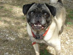 Pug Rescue Network would like to welcome Gus to rescue! <3 Gus is an 8 year old male, neutered and up to date on his vaccines.