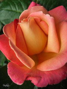 Apricot Color Rose - Gorgeous !