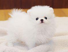 Pomeranian Teacup