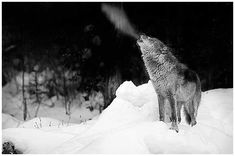 Wolves in Winter, Canada