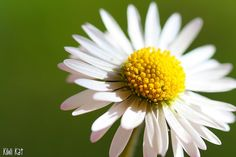 Fresh as a Daisy... #Daisy #Flower #Macro #Green #white #Yellow