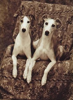 whippets (b/t Greyhounds and Italian Greyhounds)