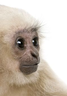 #Big eyes!!...#monkey #cute #animal...Cute Animals by Delia