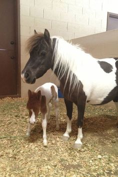 miniature horse - they are so so so cute!!